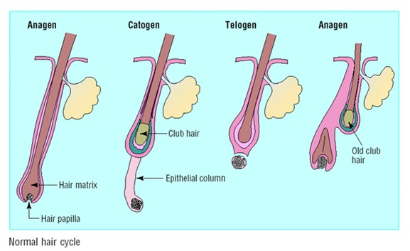 Figure 3. Normal hair cycle- Each telogen hair is replaced by a new anagen hair.