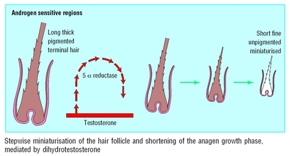 Figure 4. Progressive miniaturization of hair in each cycle.