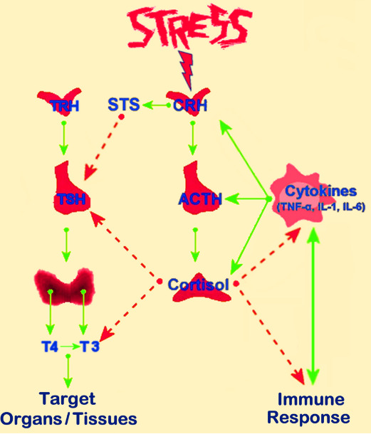 Figure 7. . Schematic representation of the interactions between the hypothalamic-pituitary-adrenal (HPA) axis and the thyroid and immune function.