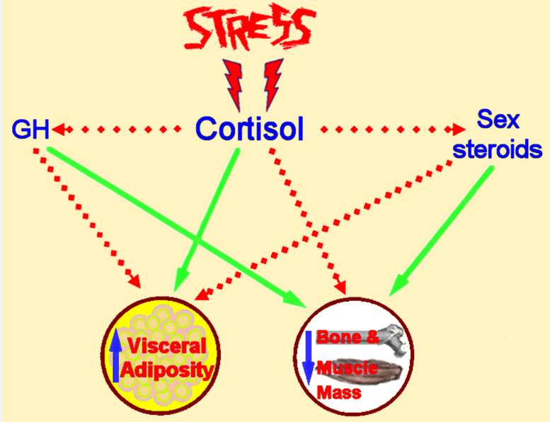Figure 8. . Schematic representation of the detrimental effects of chronic stress on adipose tissue, bone and muscle metabolism.