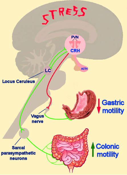 Figure 11. . Schematic representation of stress system effects on gastrointestinal function.