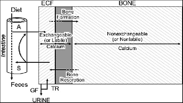 Calcium And Phosphate Homeostasis Endotext Ncbi Bookshelf. Caphosphatehomeost Ure1 Ure 1 Schematic Representation Of Calcium And Skeletal Metabolism. Wiring. Bones In Calcium Homeostasis Diagram At Scoala.co
