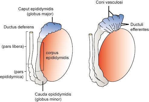 endocrinology of the male reproductive system and spermatogenesis, Human Body