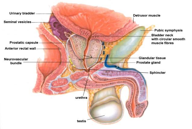 Prostate Cancer Detection Endotext Ncbi Bookshelf
