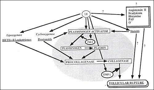 Figure 7. . Proposed mechanisms involved in follicular rupture.