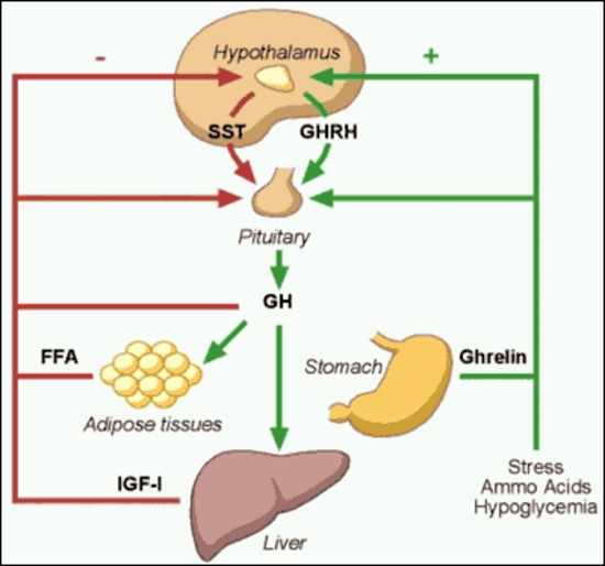 Figure 2. . Factors that stimulate and suppress GH secretion under physiological conditions.