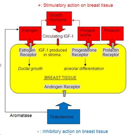 Figure 1. . Hormones Affecting Growth and Differentiation of Breast Tissue.