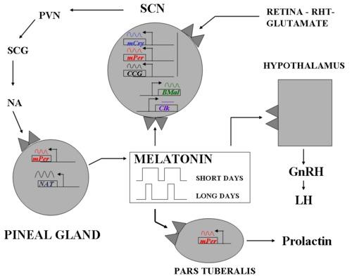 The Pineal Gland and Pineal Tumours - Endotext - NCBI Bookshelf