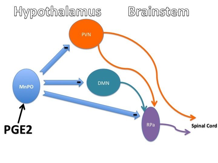 Functional Anatomy of the Hypothalamus and Pituitary