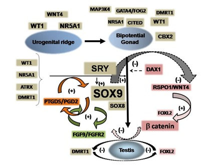 46,XY Disorders of Sexual Development - Endotext - NCBI