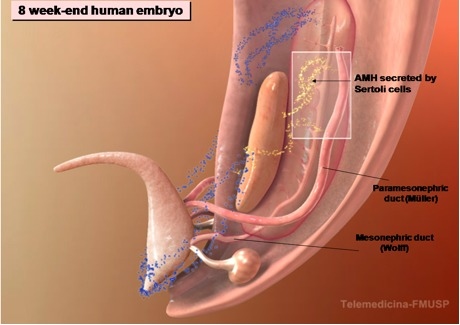 Figure 3 (A). – The development of male internal genitalia in the human embryo.
