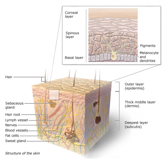 Illustration: Structure of the skin