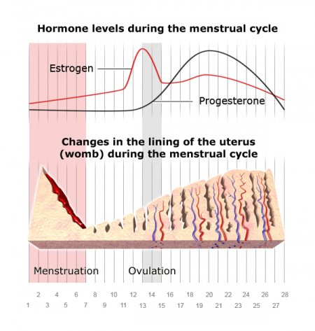 Illustration: Changes of hormone levels and in the lining of the uterus (womb) during the menstrual cycle