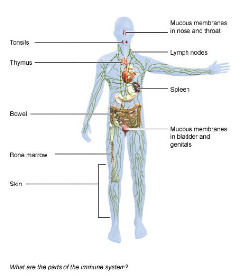 Illustration: The parts of the immune system