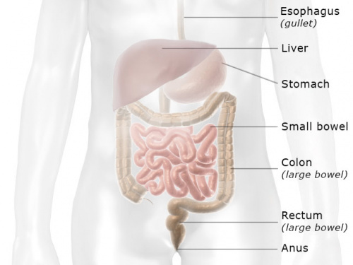 Illustration: Position of the bowel in the digestive system