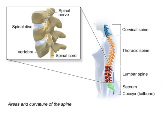 Illustration: Areas and curvature of the spine, location of spinal disks and spinal nerve