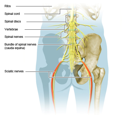 Illustration: Position of the spinal and sciatic nerves