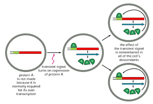 Figure 9-61. Schematic diagram showing how a positive feedback loop can create cell memory.