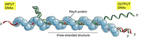 Figure 6-62. DNA synapsis catalyzed by the RecA protein.