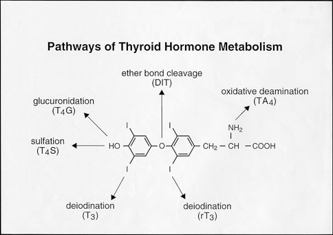 Metabolism Of Thyroid Hormone Endotext Ncbi Bookshelf