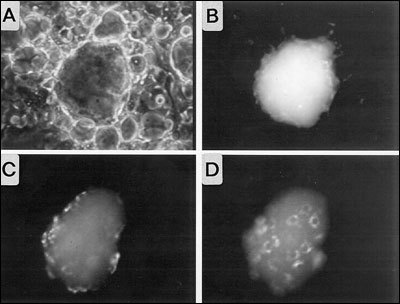 Fig. 2- 13. Visualization of Tg endocytosis by in vitro reconstituted thyroid follicles obtained from porcine thyrocytes in primary culture.