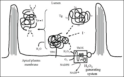Fig. 2-8. Iodination of Tg at the apical plasma membrane-follicle lumen boundary.