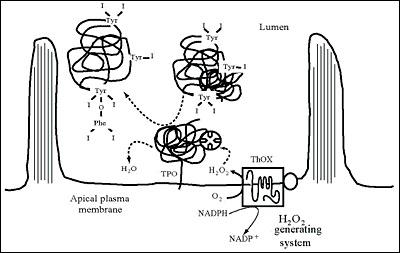 Fig. 2-9. Synthesis of hormone residues (coupling of iodotyrosines) in Tg at the apical plasma membrane-follicle lumen boundary.