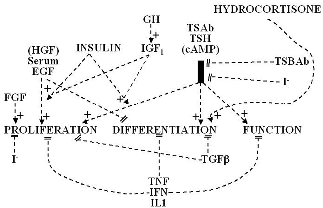 Ontogeny, Anatomy, Metabolism and Physiology of the Thyroid