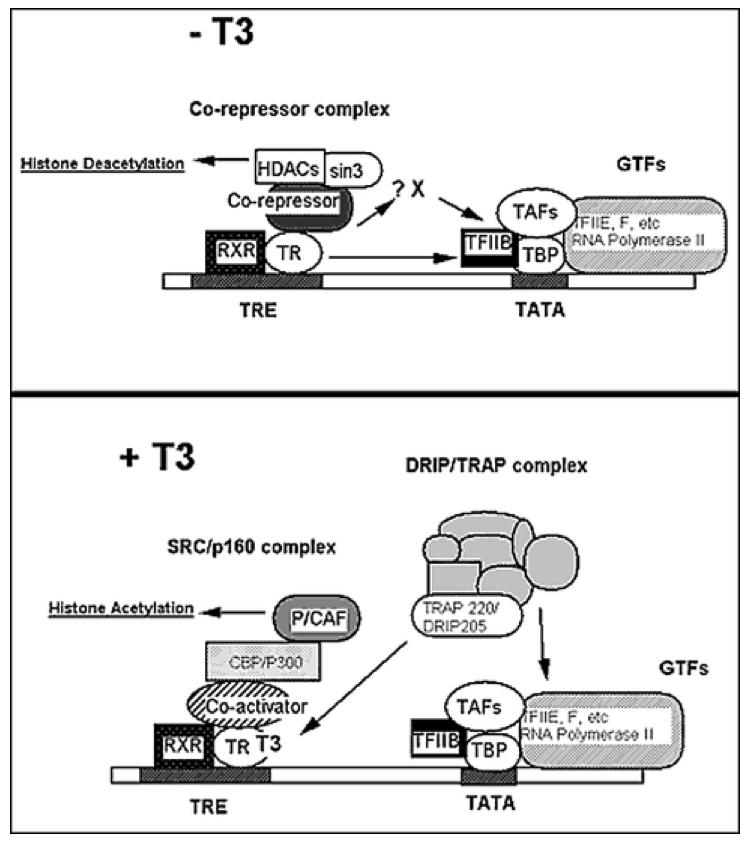 Cellular Action Of Thyroid Hormone Endotext Ncbi Bookshelf