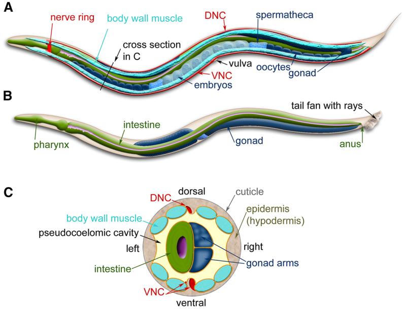 Figure 3, [C. elegans anatomy. Major anatomical...]. - WormBook ...