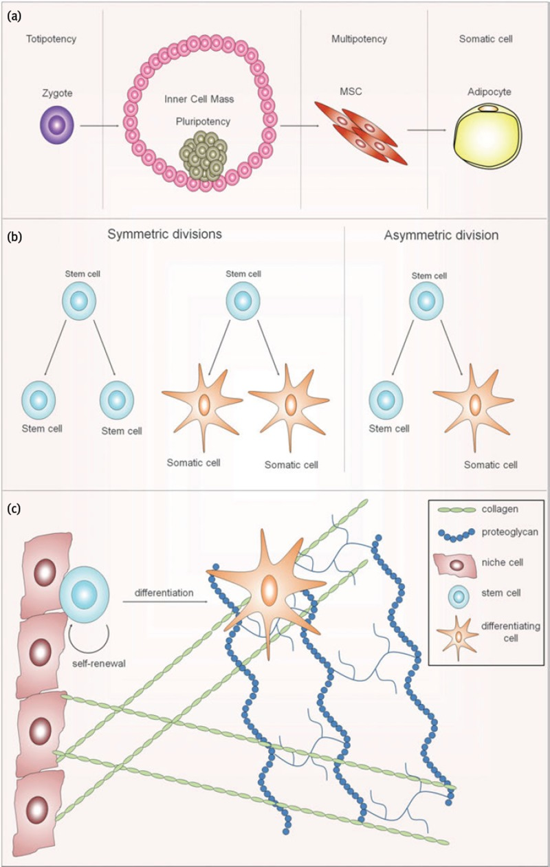 Fig. 2.1, Schematic presentation of stem cell function. (a) The ...