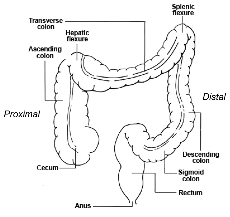 figure 1, locations in the large intestine: proximal colon (cecum, Cephalic Vein