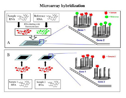 Figure], Figure 3. Schematic model for microarray hybridizations ...