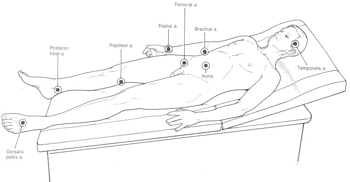 Figure 7.11. Location of the arteries that are routinely examined.