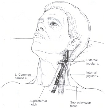 arteries in neck and head. blood vessels in the neck.