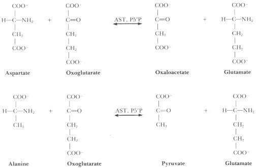 pembentukan asam amino