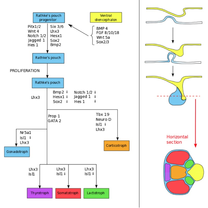 Development And Microscopic Anatomy Of The Pituitary Gland