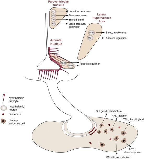 Fig  3, [Regenerative medicine in the hypothalamo-pituitary