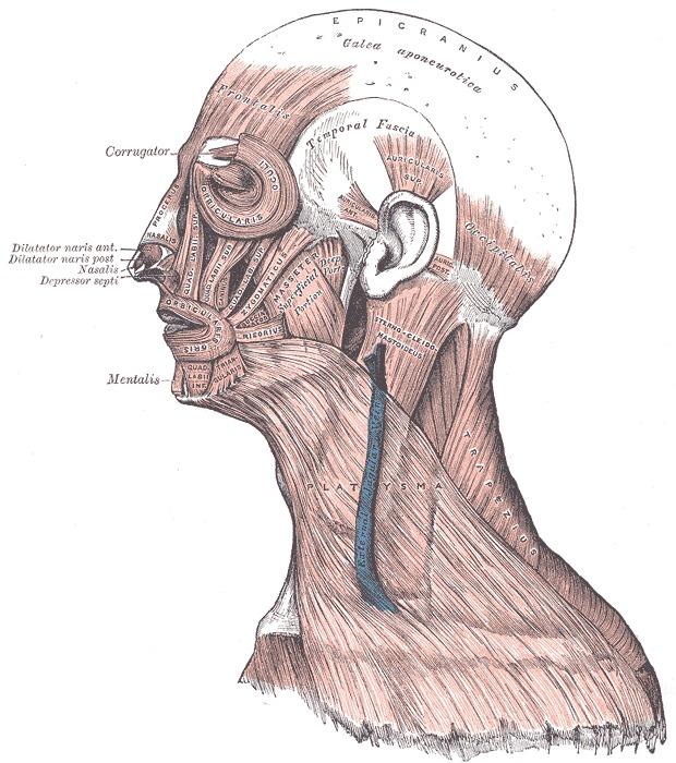 Figure Head Face And Neck Muscles Statpearls Ncbi Bookshelf