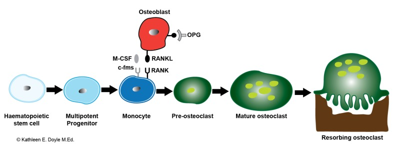 Figure, Schematic illustration of osteoclastogenesis. Bone-resorbing ...