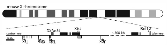 Figure 2. The X inactivation center on the X chromosome.