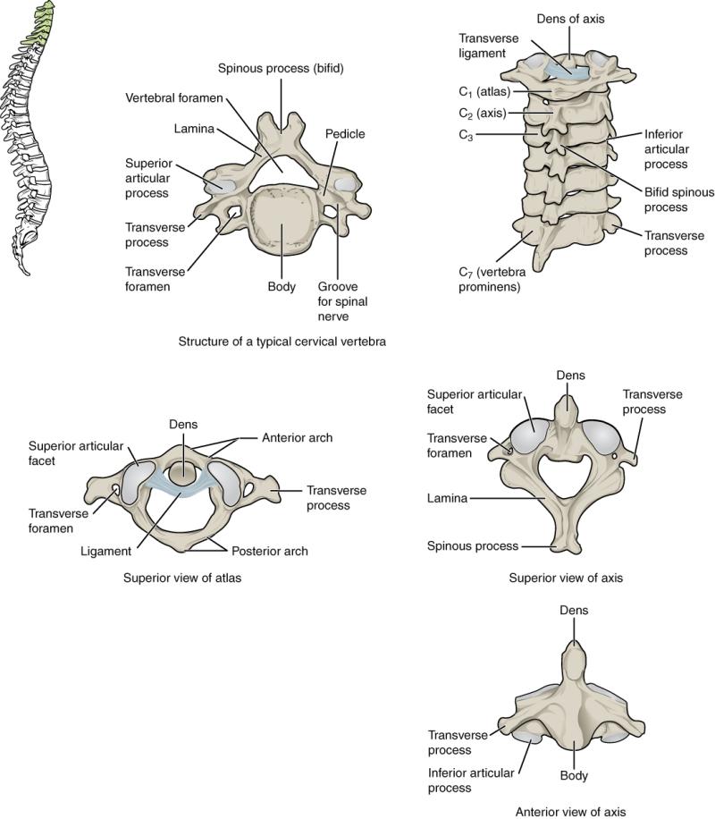 Figure Cervical Vertebra Cervical Axis Atlas Statpearls