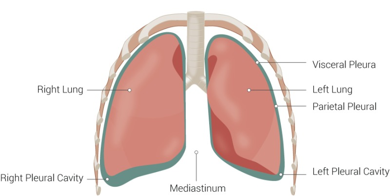 Figure, Pleura, Visceral Pleura, Left Lung,...] - StatPearls - NCBI ...