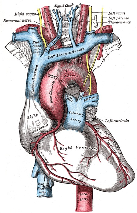 grays anatomy heart illustration