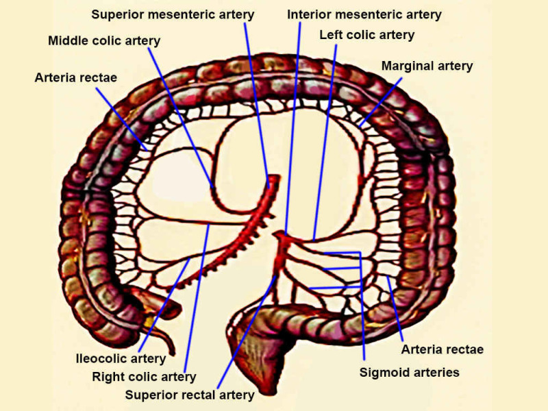 Figure Colon Arteries Superior Mesenteric Inferior