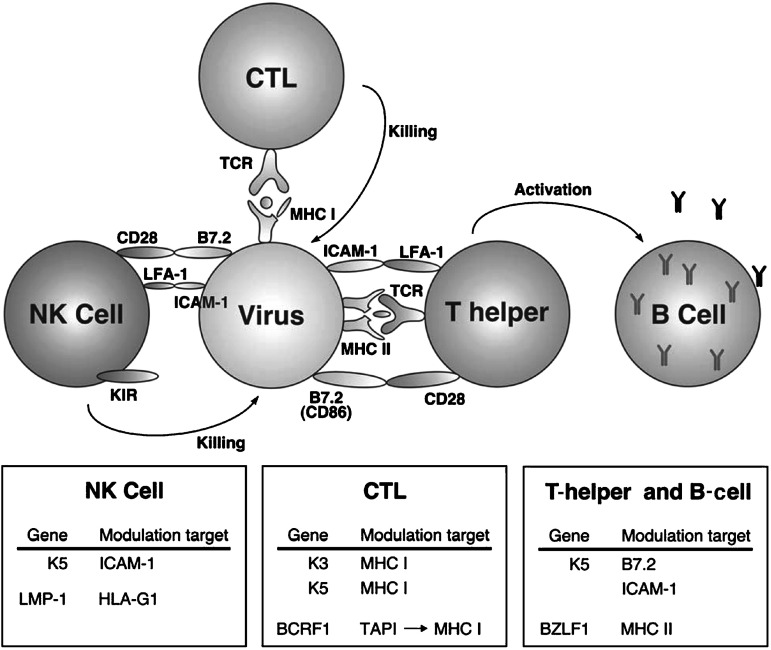 Fig. 31.5. Viral alteration of immunomodulatory proteins.