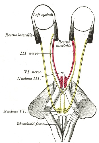 Figure, The Abducens Nerve, the mode...] - StatPearls - NCBI Bookshelf