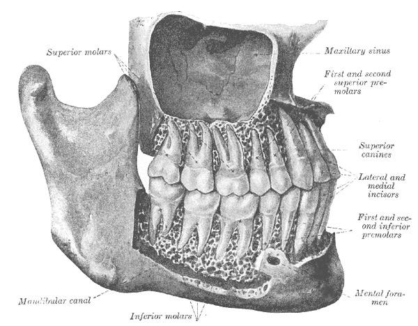 Figure The Mouth The Permanent Teeth Statpearls Ncbi