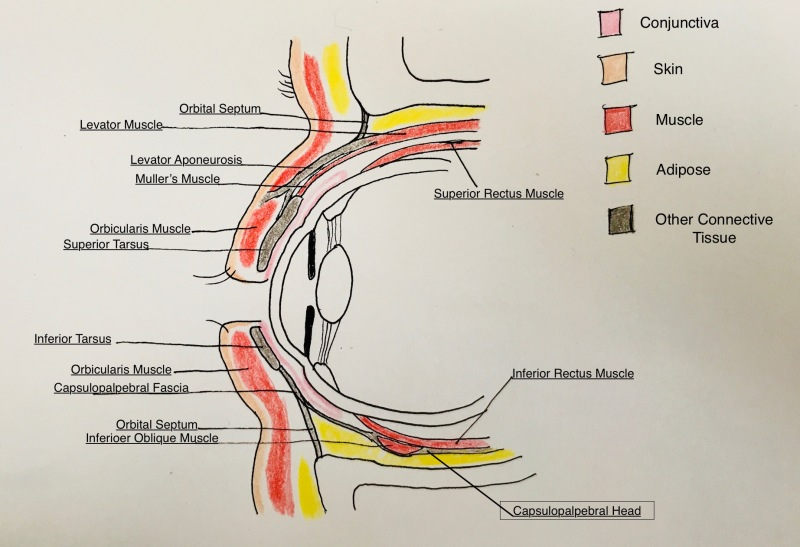 Figure Eyelid Anatomy Contributed And Illustrated By Megan L