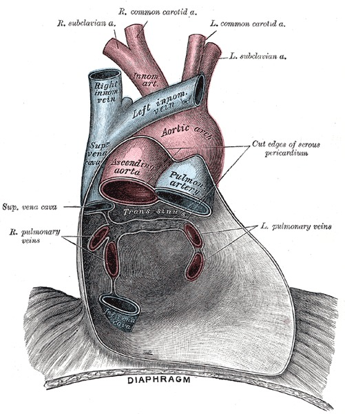 Figure, Pericardium anatomy, Right Subclavian Artery ...